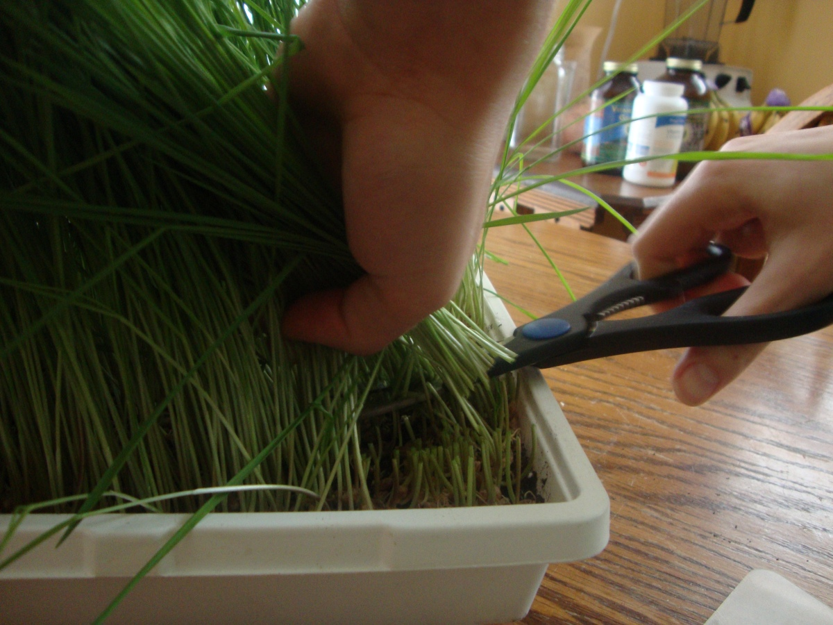 How to grow and juice your own wheatgrass - cleansing and strengthening