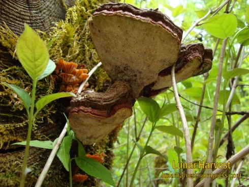 Last years Reishi fruit